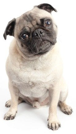 Pug example to demonstrate how to make a Pinterest board